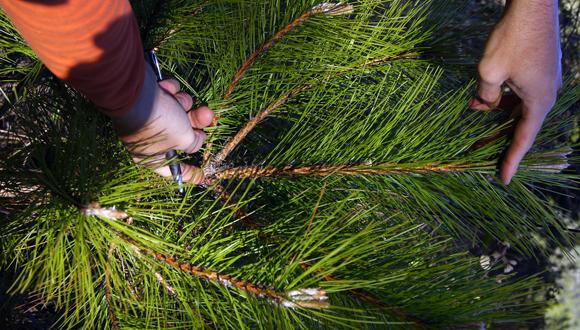Mesura arbre