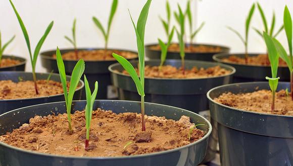 Proves de Biochar en cultius