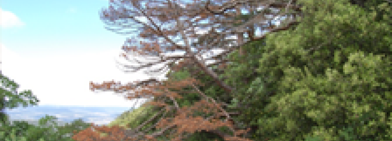 Desxifrant el mecanisme de mortalitat induïda per sequera en arbres