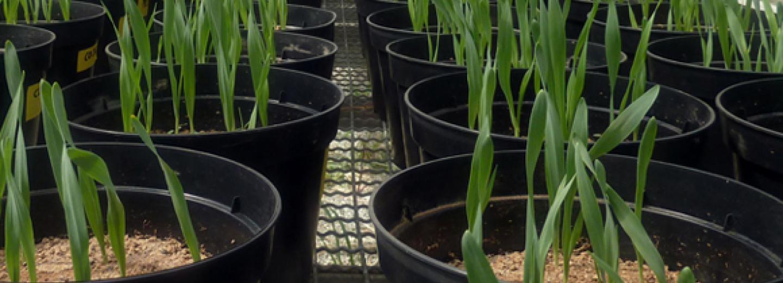 Ús del biochar en sòl com a estratègia de mitigació del canvi climàtic i el seu potencial impacte ecotoxicològic