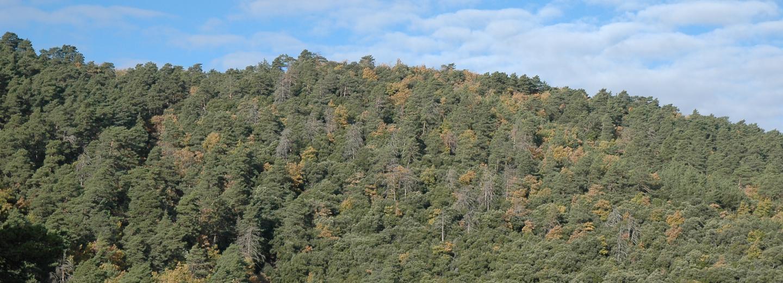 Fotografia del bosc de Poblet, Muntanyes de Prades (Tarragona). La dinàmica d'aquest bosc està portant a una substitució progressiva del pi roig per l'alzina. Autor: David Tarrassón.