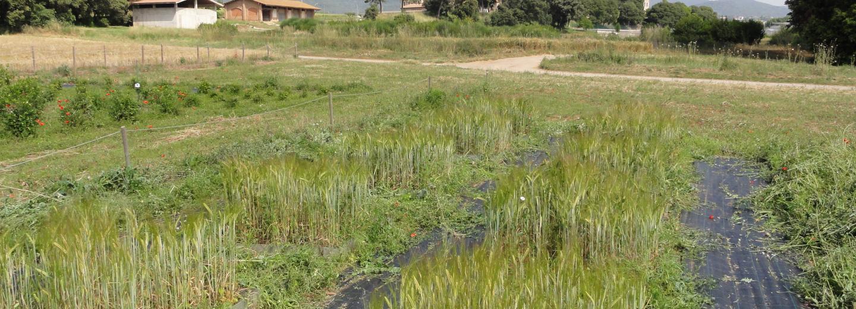 Parcel·les experimentals en un sòl agrícola tractat amb biochar