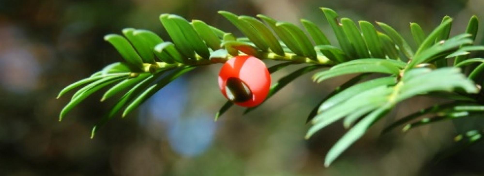 Caracterització de la variabilitat genètica de Taxus baccata a la península ibèrica i balears